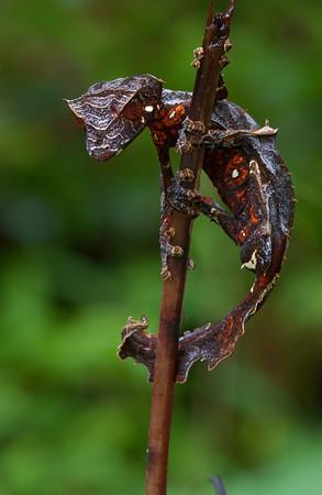 n satanic leaf-tailed gecko