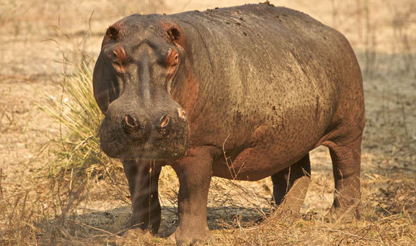 n hippo