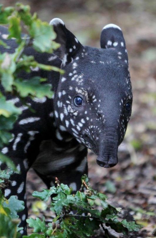 n tapir