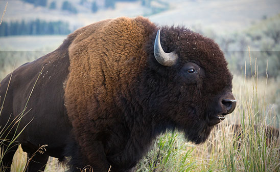 n canadian bison