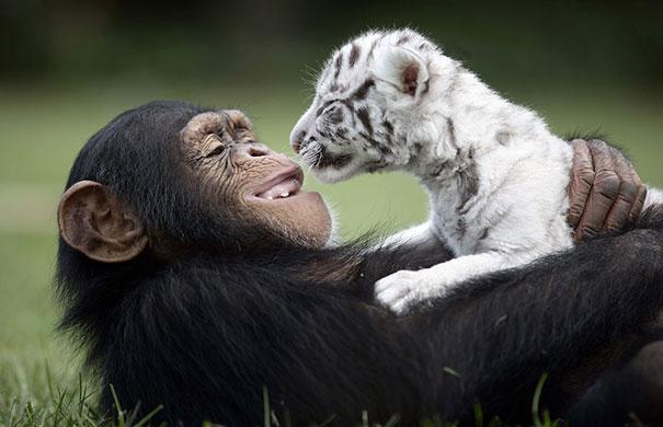 n chimp andtiger