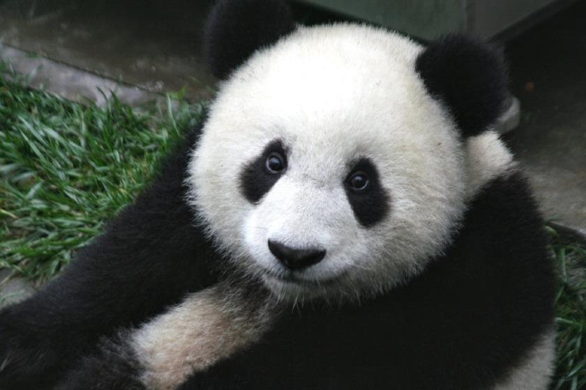 n panda