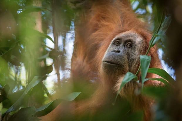 n pongo tapanuliensis Sumatra