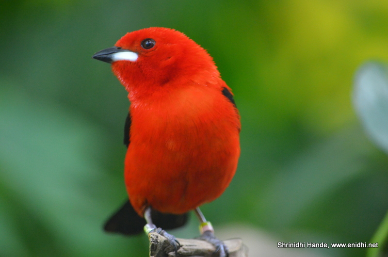 n brazilian tanager
