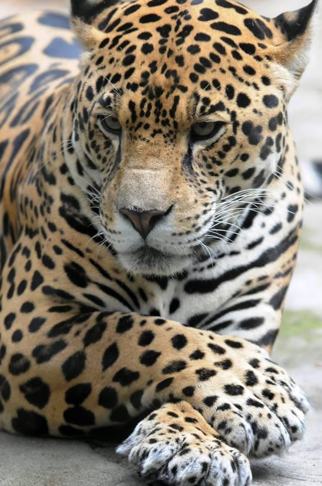 n jaguar