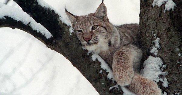 n balcan lynx
