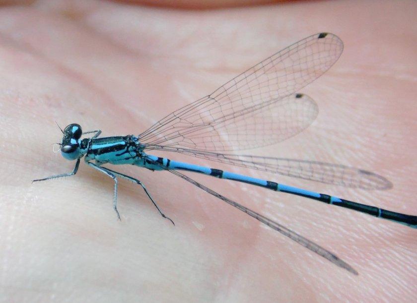 n blue damsel fly