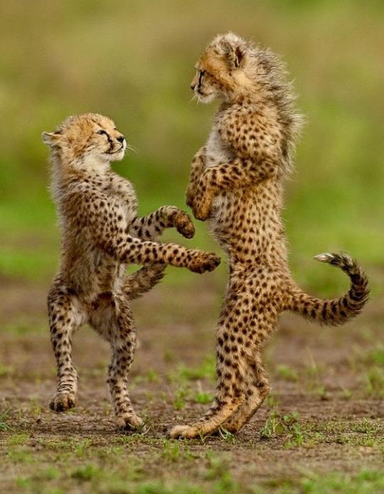 n cheetah cubs