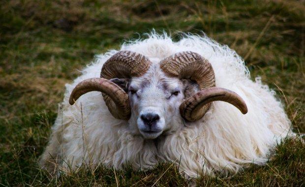 n sheep
