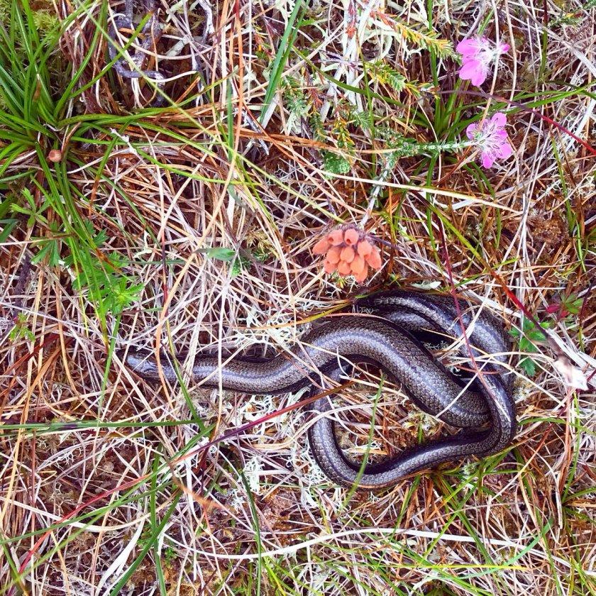 n slow worm (hebrides)
