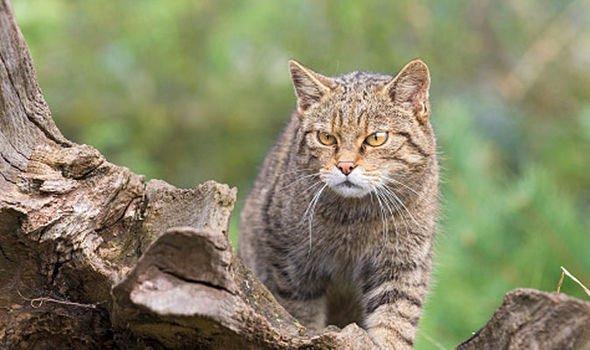 n wildcat
