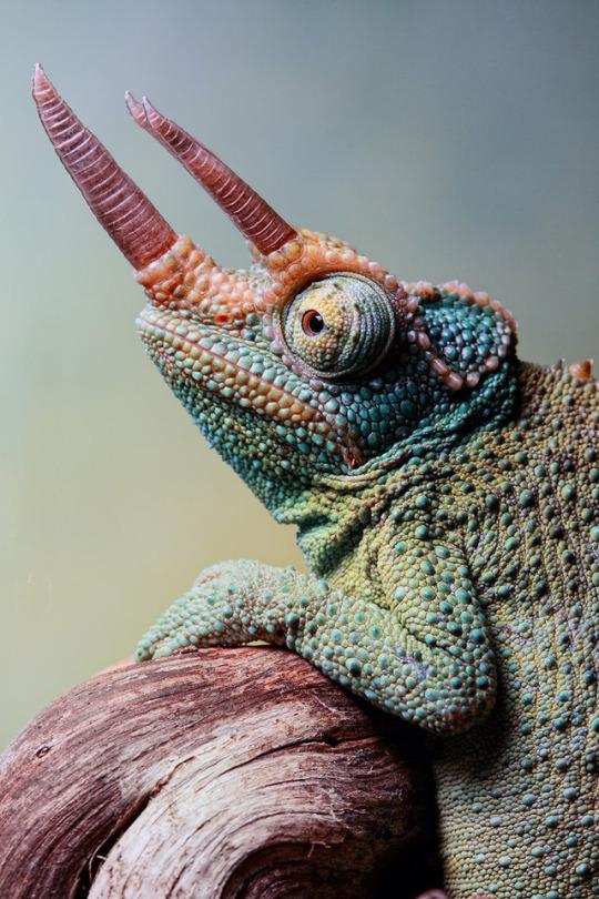 n chameleon