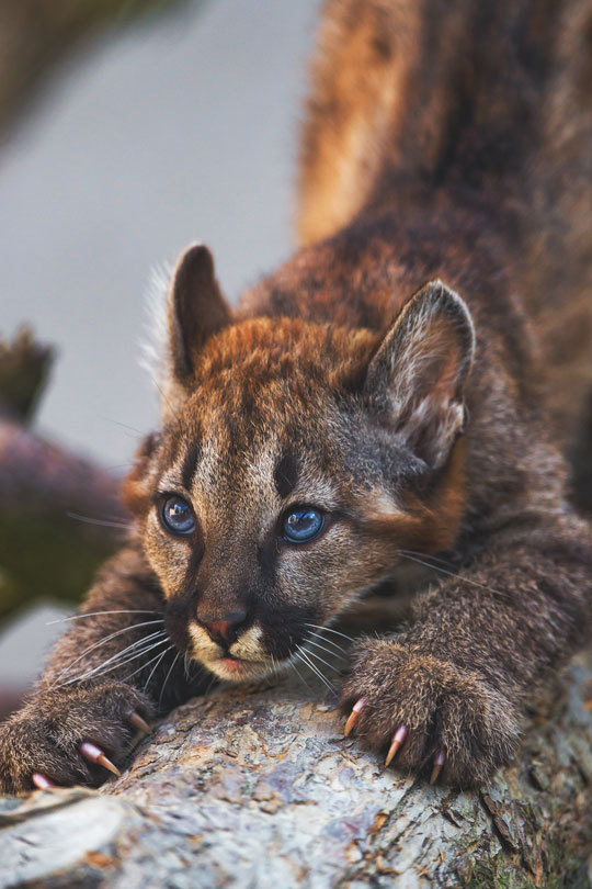 n puma or cougar