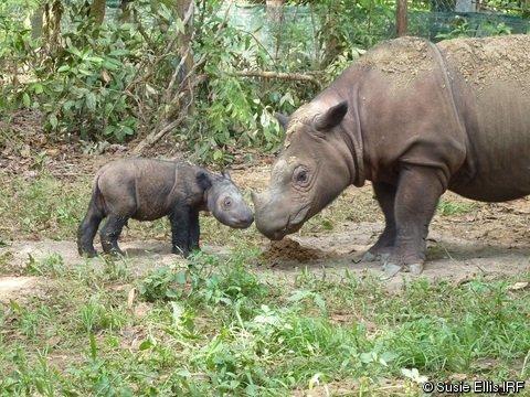 n samatran rhino