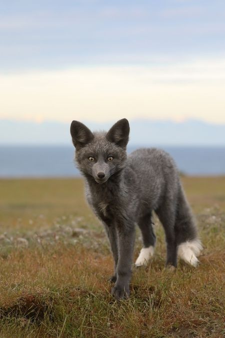 n baby wolf