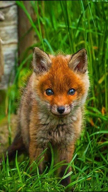 n fox2
