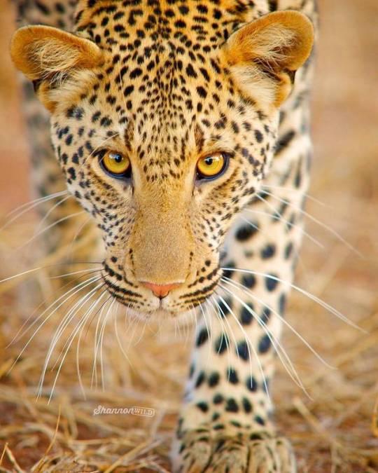 n leo the leopanrd