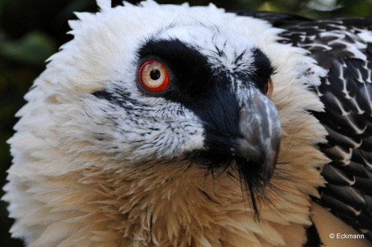 n bearded vulture