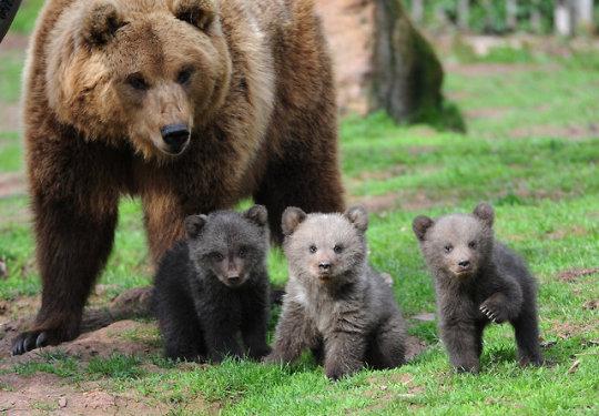 n bears