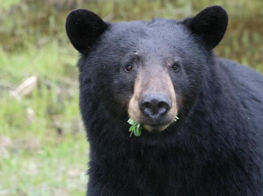 n black bear