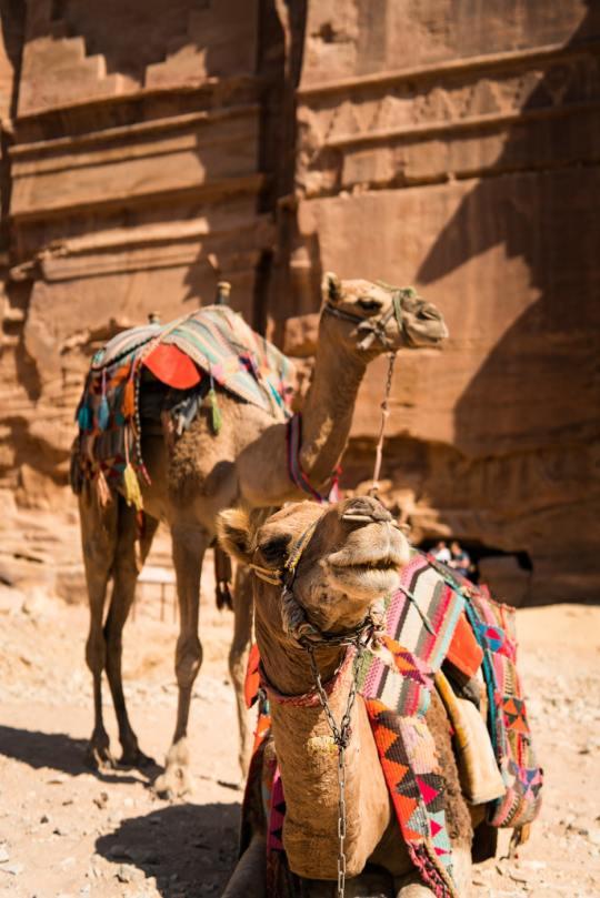 n camel