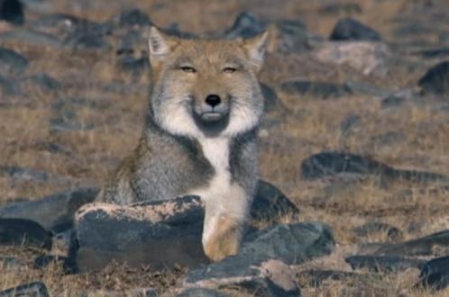 n Mongolian fox