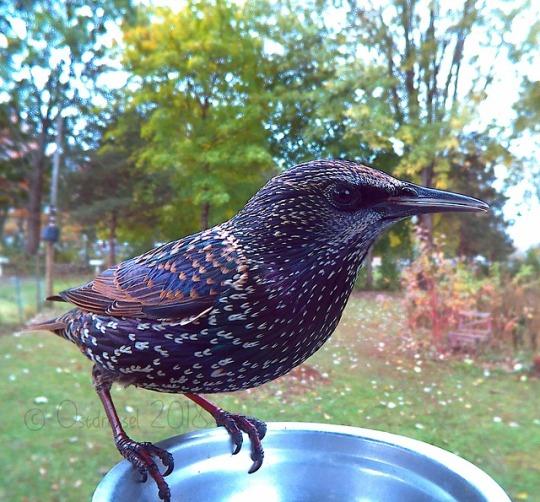 n starling