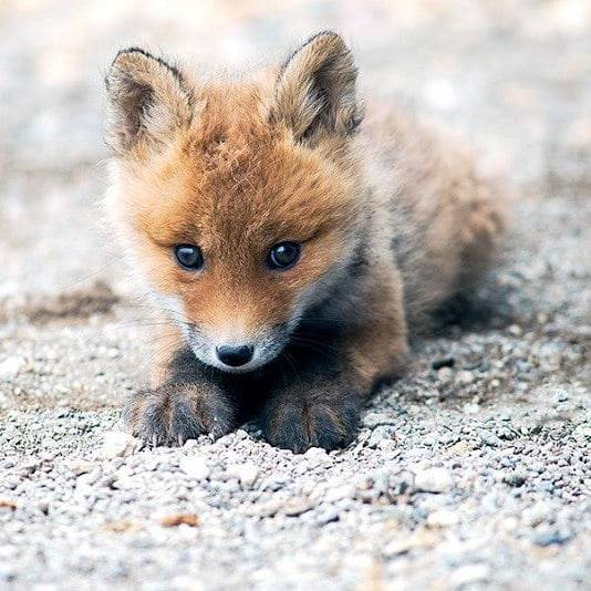 n baby fox