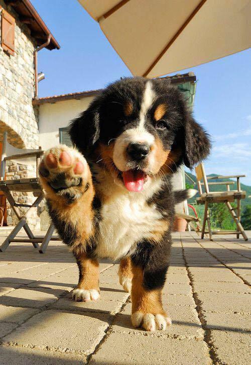 n babydog