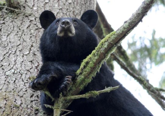 n bear