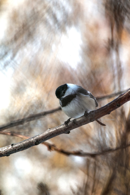 n blackcapped chickadee
