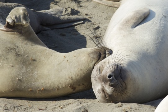 n elephant seals