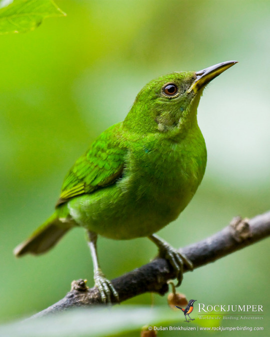 n green honeycreeper