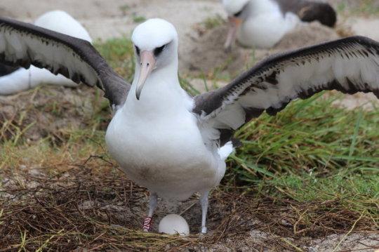 n laysan albatross