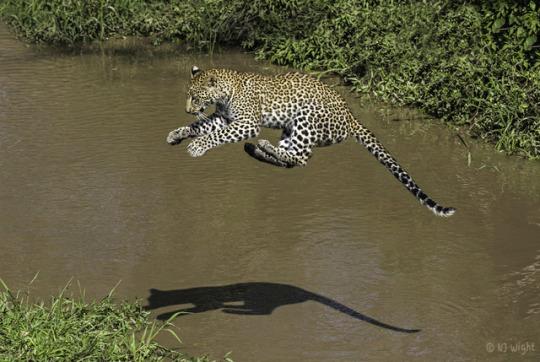 n leaping leopard