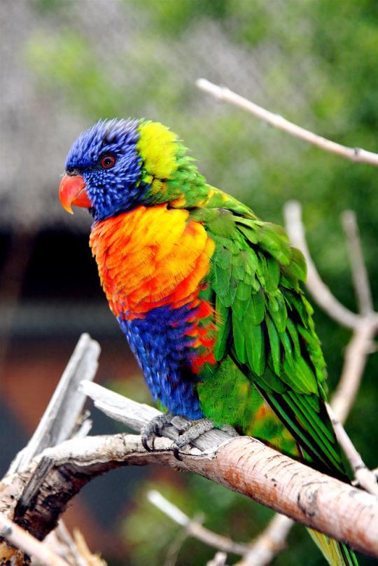 n rainbow lorikeet