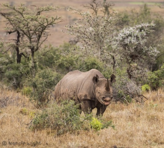 n rhino black