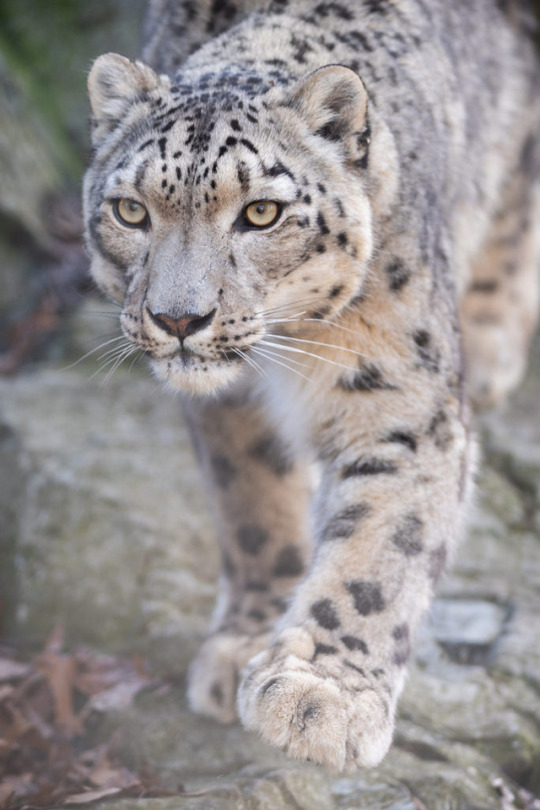 n snow leopard
