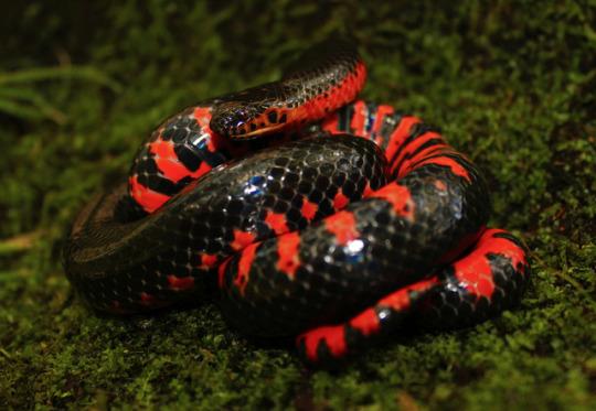 n western mud snake