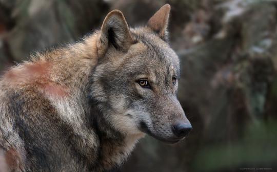 n wolfie