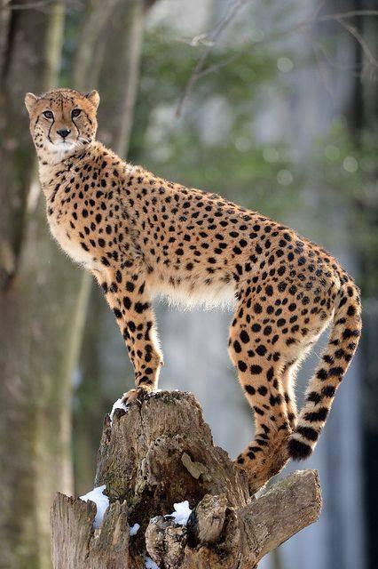 n cheetah