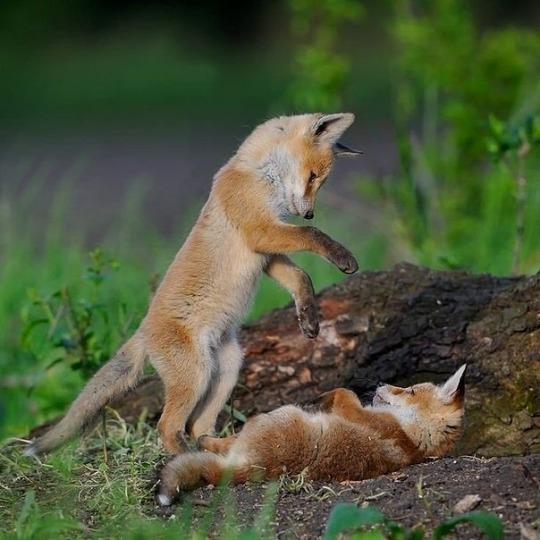 n foxgames