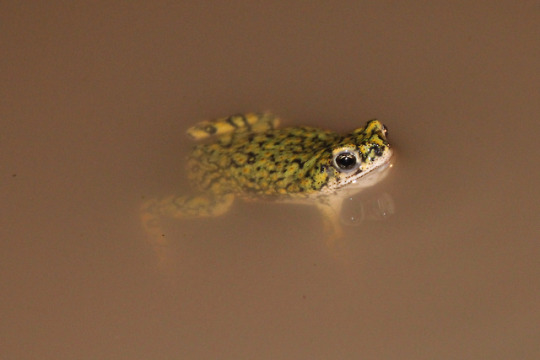 n green toad