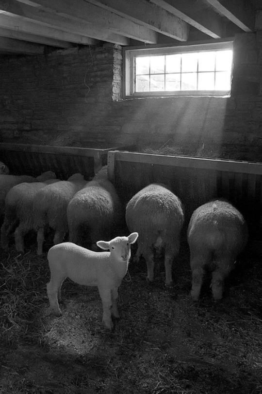 n lamb