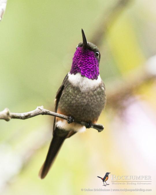 n purple throated woodstar