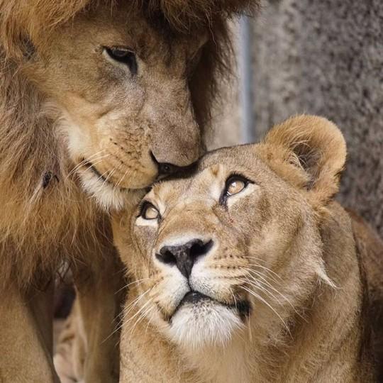 n lion 7