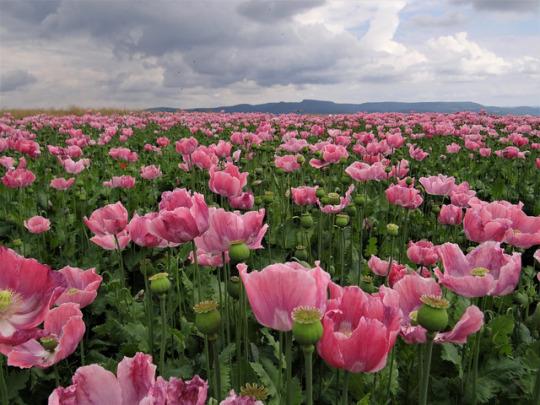 n pink poppies