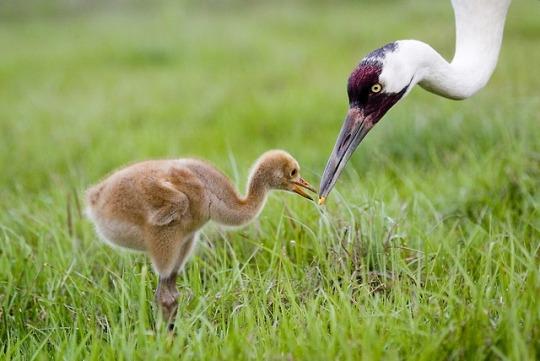 n whooping crane