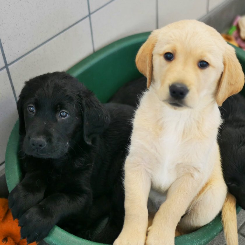 n baby guide dogs