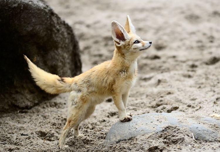 n foxy1